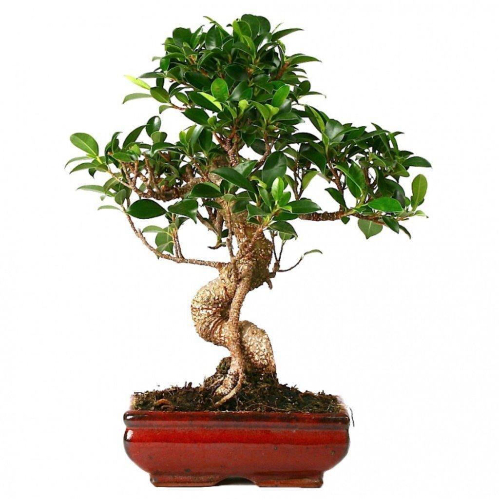 Дерево бонсай микс уход в домашних условиях фото