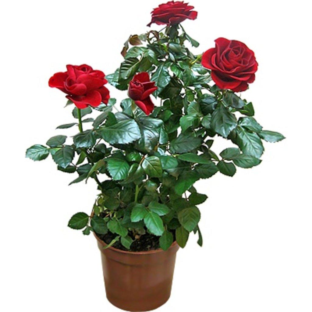 Комнатные цветы домашняя роза