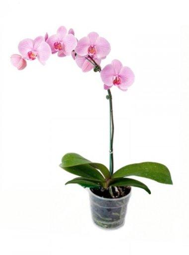 Орхідея ФАЛЕНОПСИС 1 стовбур – купити в Leroy Merlin | Цiна в Києві та Україні